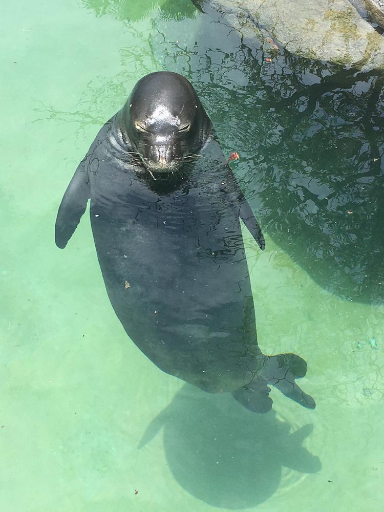 ワイキキ水族館 アザラシ瞑想中